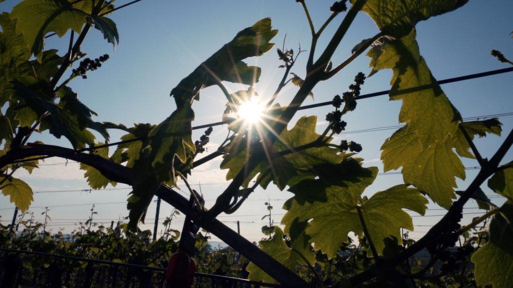 Sonne glitzert durch Weinreben